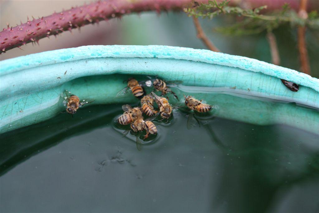 bijen op zoek naar water