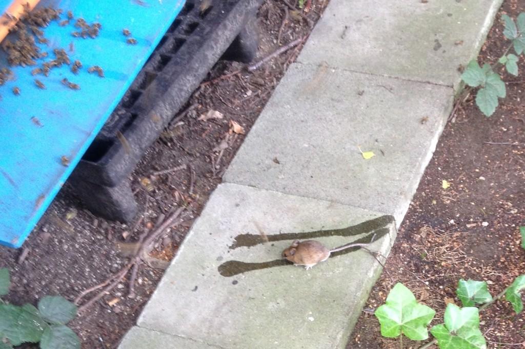 muis op zoek naar suikerwater